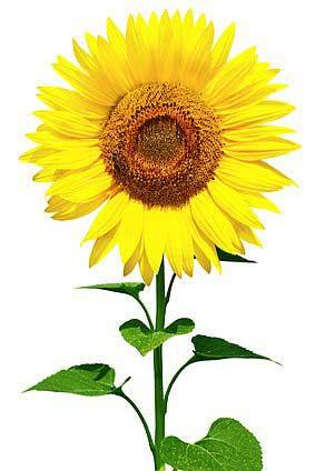 Sonnenblume Bedeutung